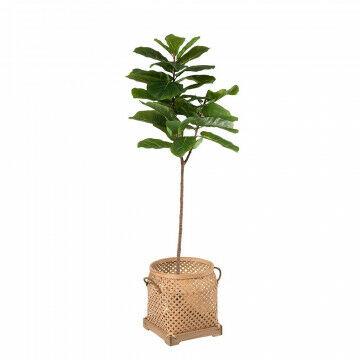 Vijgenboom met viool-bladeren met mand sumatra