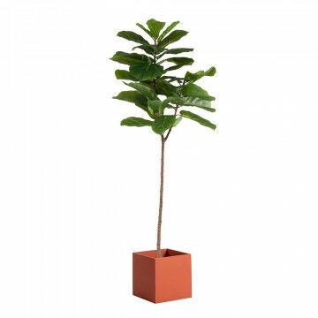 Vijgenboom met viool-bladeren met bak vierkant oranje